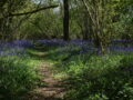 Bluebell pathway