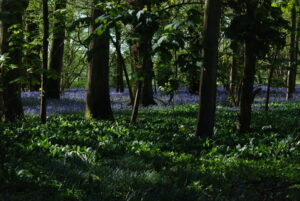 Bluebells though the trees